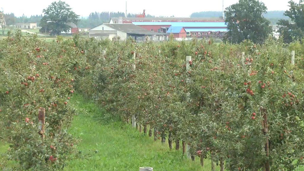 Более тысячи тонн яблок планируют собрать в этом году в хозяйстве «Можейково».